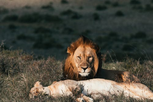 Lion with lioness resting on grass in savanna