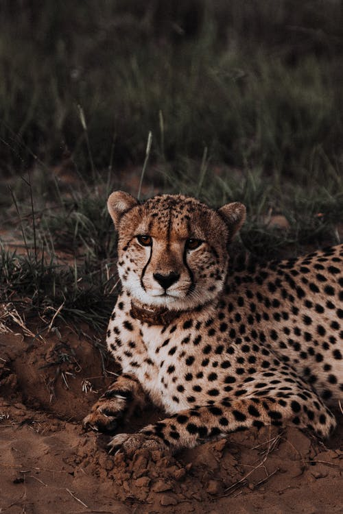 Dangerous cheetah with spotted coat looking at camera while lying on sandy terrain in savanna