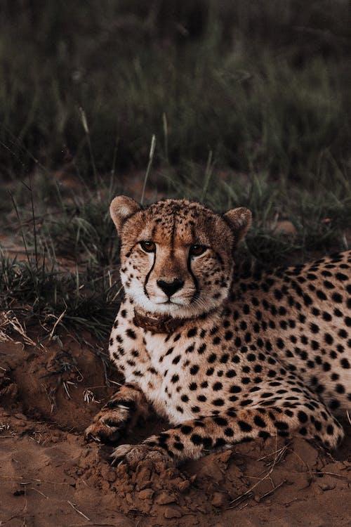 あくび, アフリカ, うその無料の写真素材