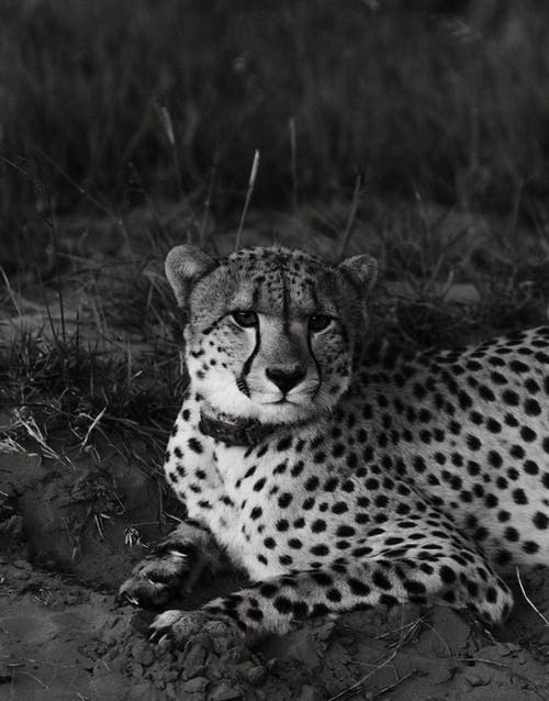 Wild cheetah resting on dry ground hole near grassy field