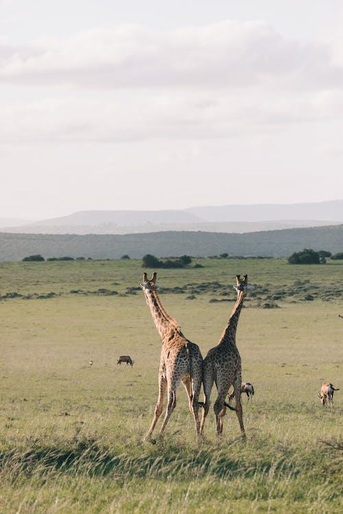 一群動物, 乾的, 冷靜 的 免費圖庫相片