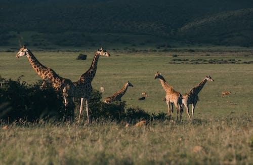 Flock of wild giraffes pasturing in green savanna