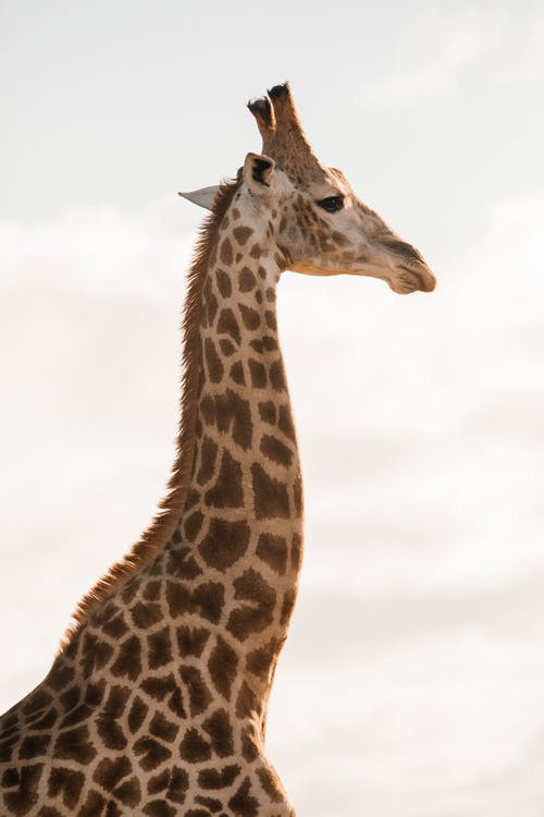 Side view of wild adult giraffe with long neck and brown spots resting in nature on cloudy sky