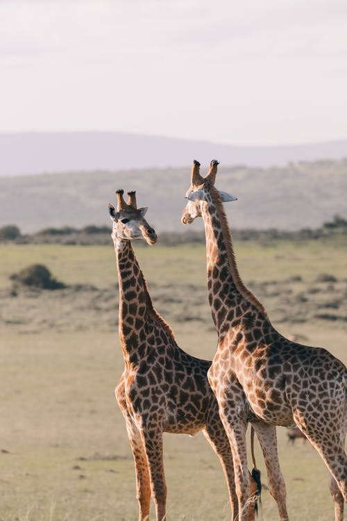 Giraffes standing on dry field and looking at each other