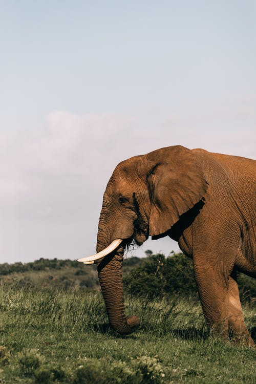 Huge elephant with long trunk standing on green meadow