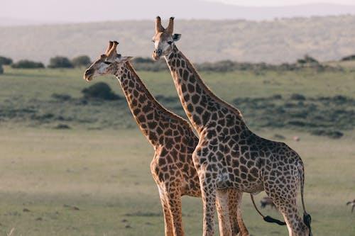 2 Brown and White Giraffe on Brown Grass Field