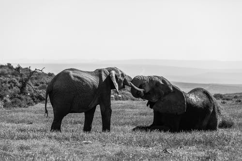 Wild elephants with tusks hugging gently with trunks in natural habitat