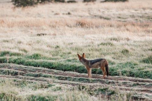 Black backed jackal standing on rural road