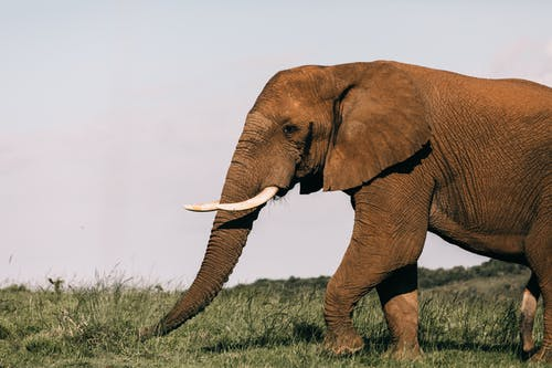 Huge wild elephant eating fresh green grass while pasturing alone in natural habitat on sunny summer day