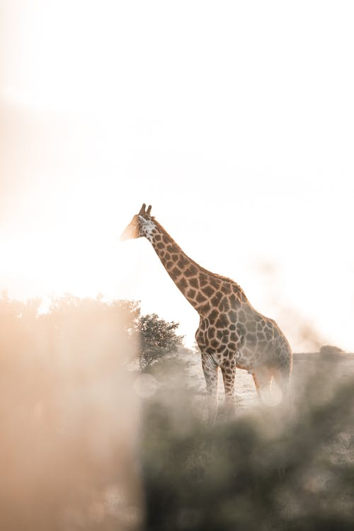 Lonely spotted giraffe with small horns resting among green shrubs