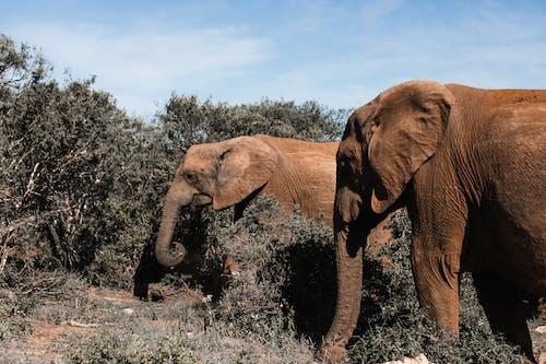 Elephants pasturing among dry bushes on sunny day