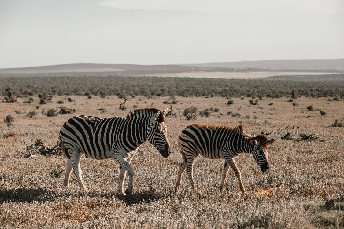 Side view of wild zebras eating dry grass while pasturing on remote dry terrain in savanna