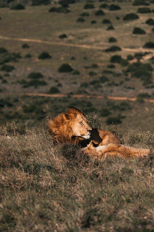 Wild lion resting in grass in daylight