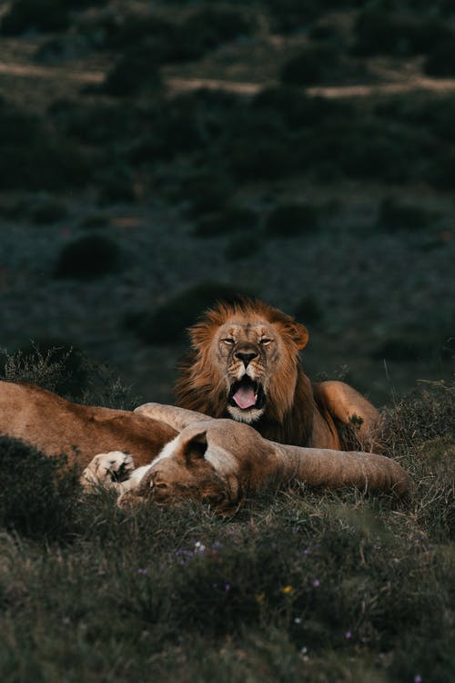 Wild lionesses and lion lying together in green grass on meadow in savanna