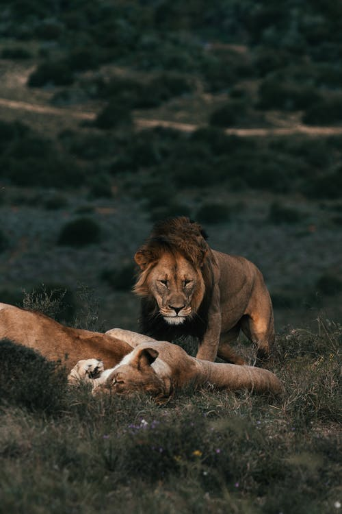 Wild lionesses and lion relaxing on grass