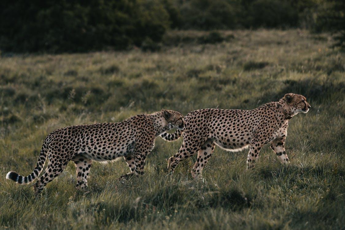 Wild cheetahs walking in meadow in daytime