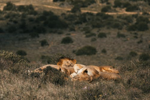 Wild lionesses and lion sleeping on meadow together in green grass in summer sunny day