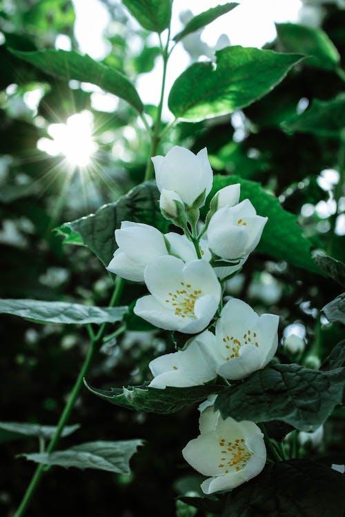 Free stock photo of белые цветы, белый, жасмин, лето