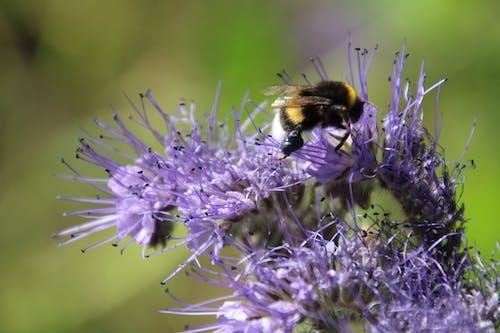 Gratis stockfoto met bij, bloem, grwowing, natuur