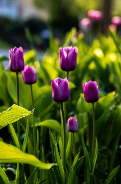 Purple Tulips in Bloom