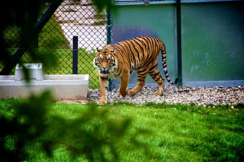 animal, predator, tiger