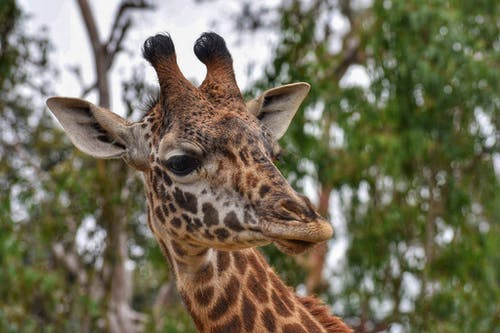 Free stock photo of animal, giraffe, nature, photography