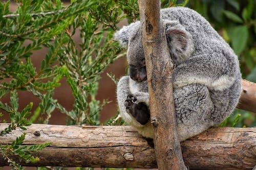 Gratis stockfoto met beest, dierentuin, fotografie, koala