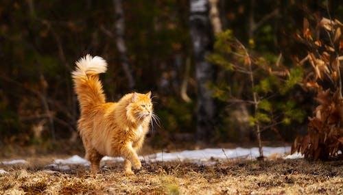 Free stock photo of cat feline pet orange kitty fluffy