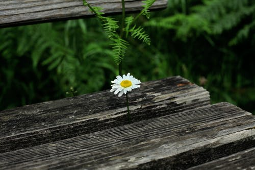 Foto profissional grátis de margarida flor samambaia banco madeira