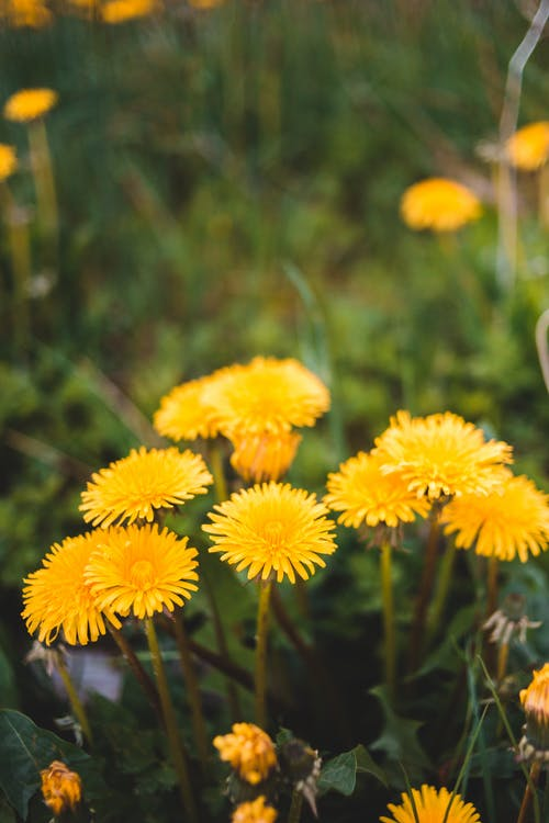 Bright yellow dandelions blossoming on grassy abundant lawn in nature on clear sunny day
