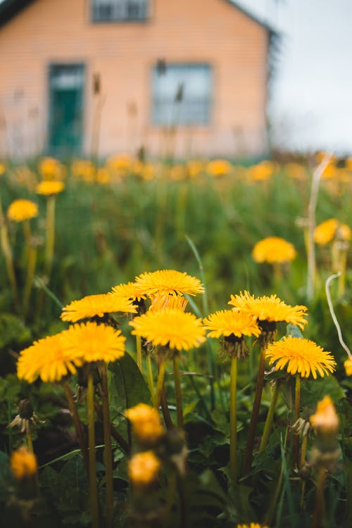 Yellow dandelions growing on grassy lawn near rural house