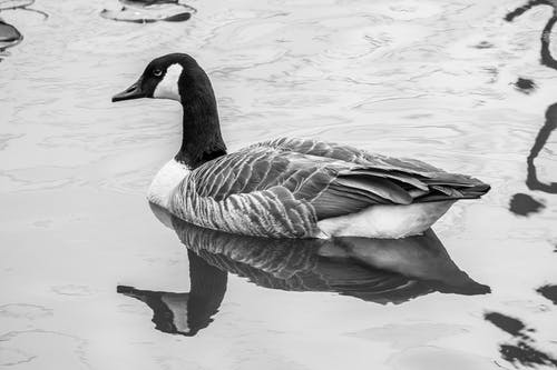 Graceful Branta canadensis goose floating on lake