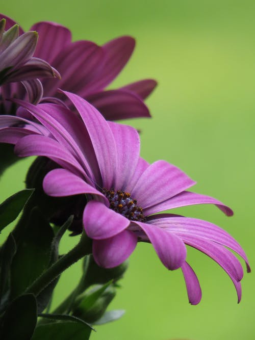 Cape marguerite flowers with delicate purple petals growing in green field on sunny day