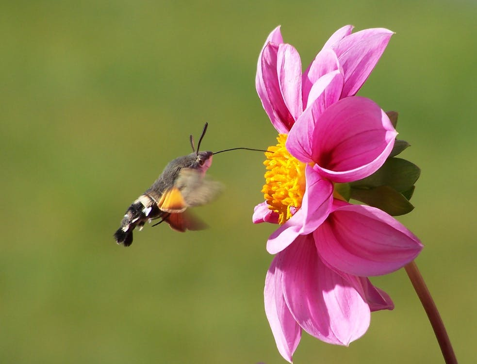 Moth Hovering by a Pink Zinnia