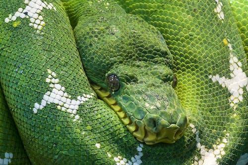 Darmowe zdjęcie z galerii z łuska, oczy, python, ryzyko