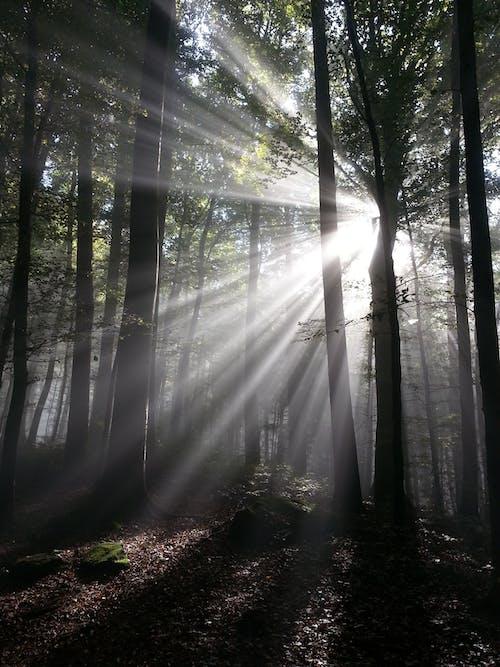 Foto profissional grátis de árvores, efeito tyndall, floresta, floresta no outono