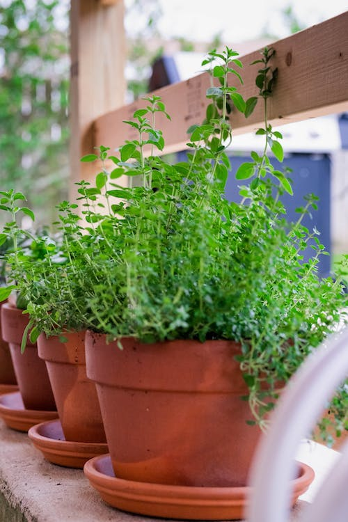Free stock photo of basil, clay pots, cooking
