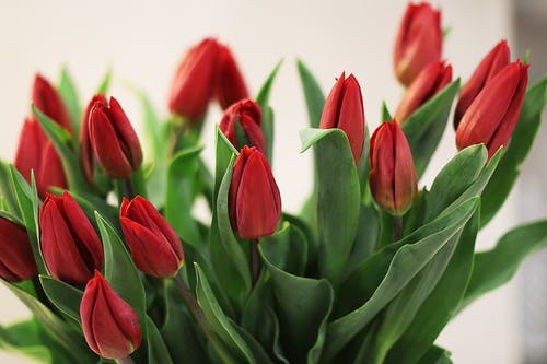 Bunch of fresh red tulips buds