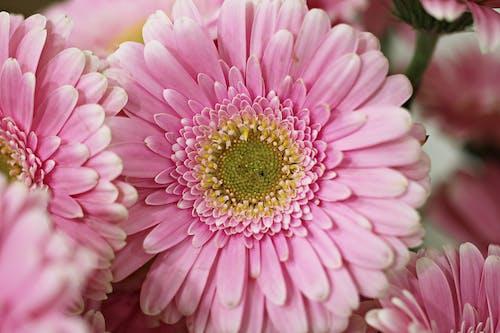 Tender pink gerbera flowers in garden