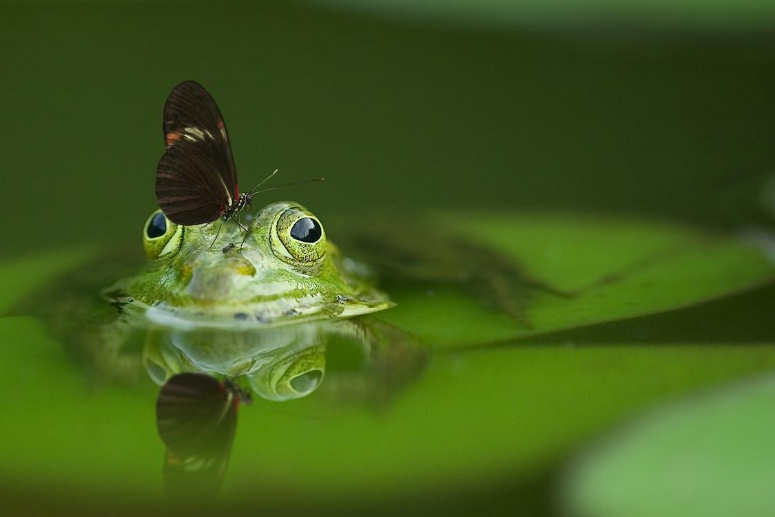 Papillon à Ailes Longues Sur Tête De Grenouille Tremper Dans L'eau