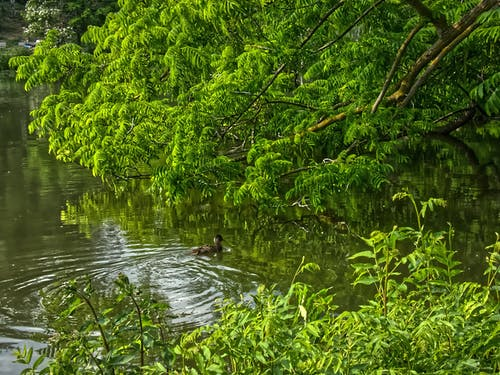 Free stock photo of ente, küken, park