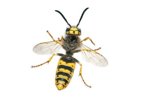 Kostnadsfri bild av geting, insekt, närbild
