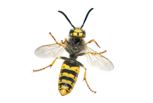 Yellow and Black Wasp