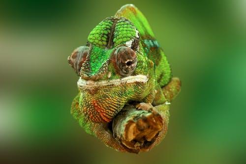 Gratis lagerfoto af chamaeleonidae, close-up, farverig, grøn