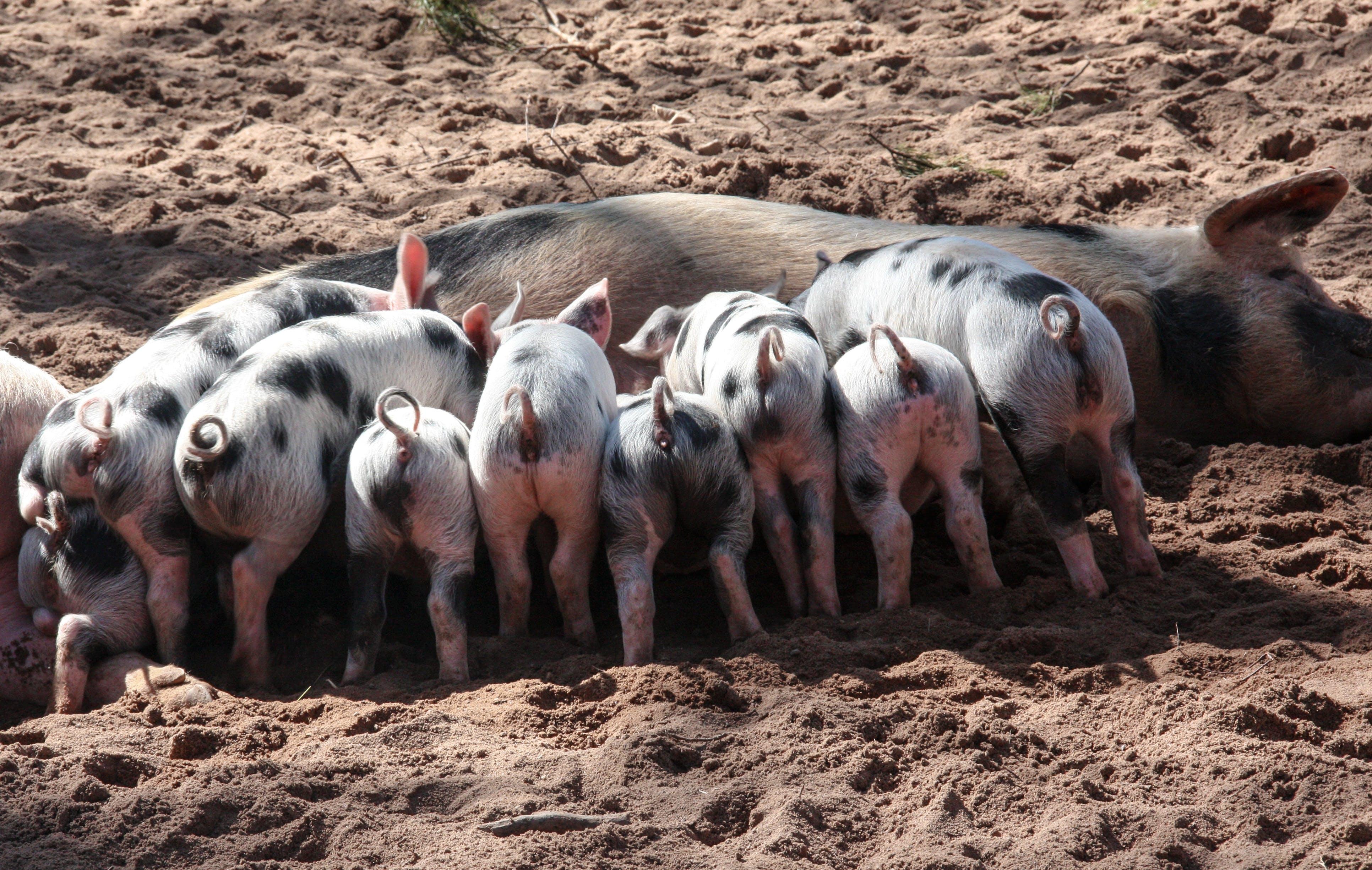 Black and White Pig Feeding Her Piglets