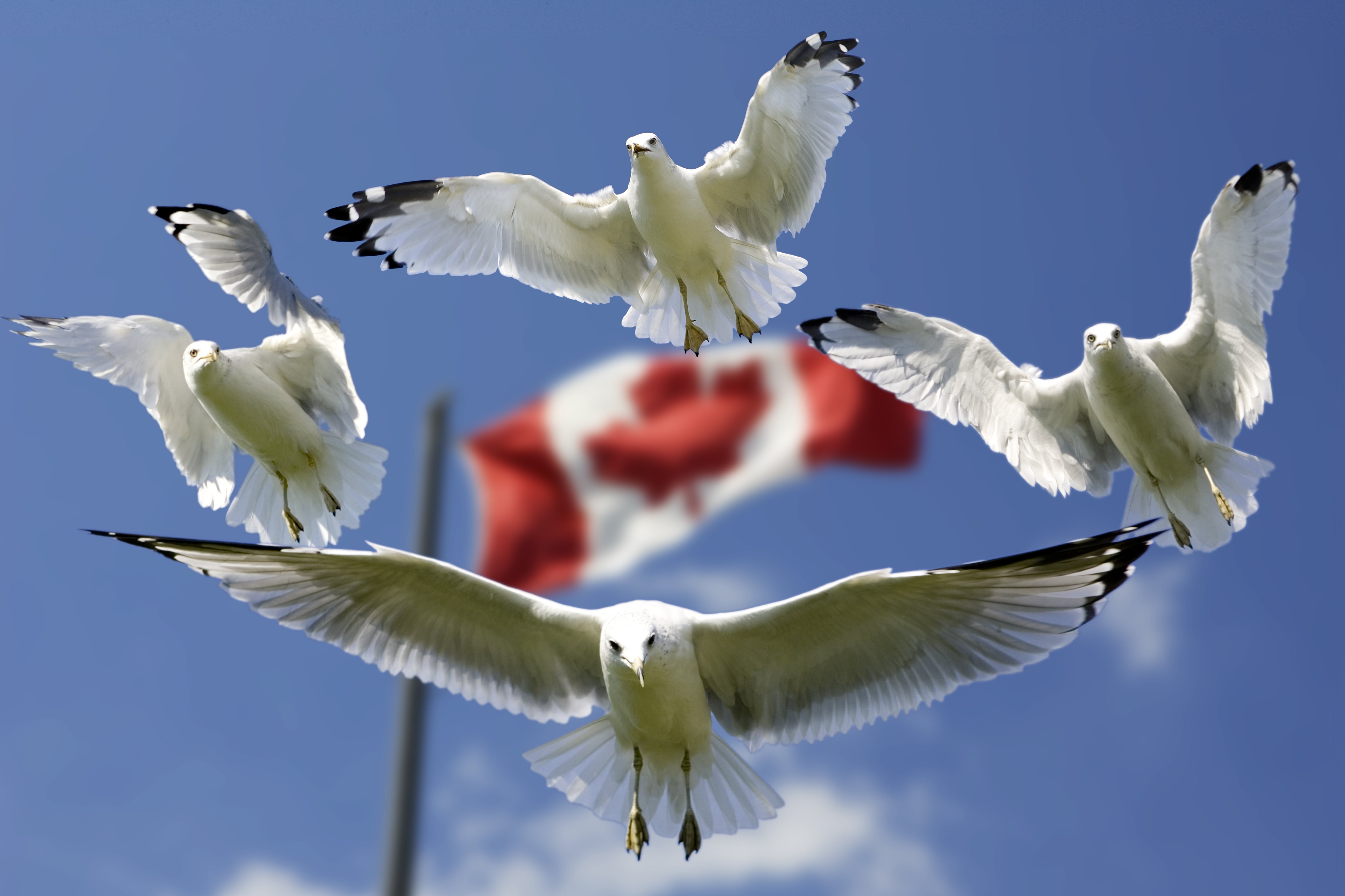 4 Birds Flying in Mid Air With Flag of Canada Behind during Daytime