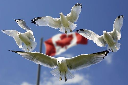 คลังภาพถ่ายฟรี ของ ท้องฟ้า, ธงแคนาดา, นกนางนวล, นางนวล