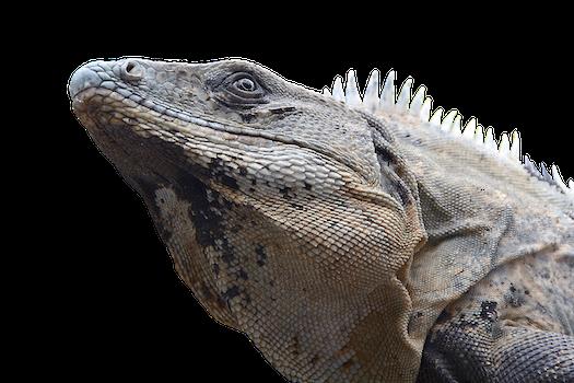 Free stock photo of zoo, lizard, reptile, iguana