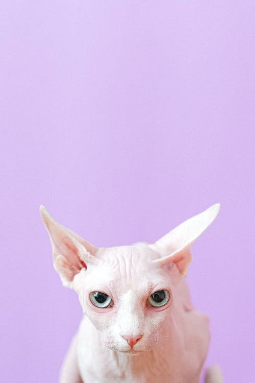 White Cat Looking at the Camera