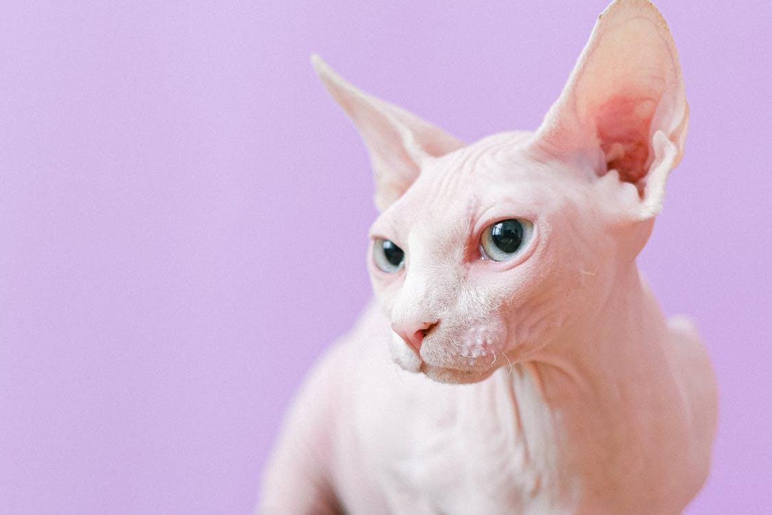 White Cat With Violet Background